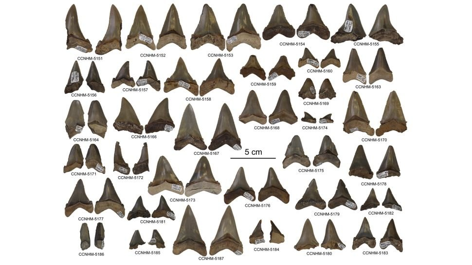 Carcharocles angustidens teeth discovered in South Carolina. (Addison Miller)